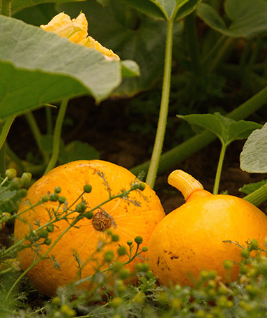 Production de légume bio